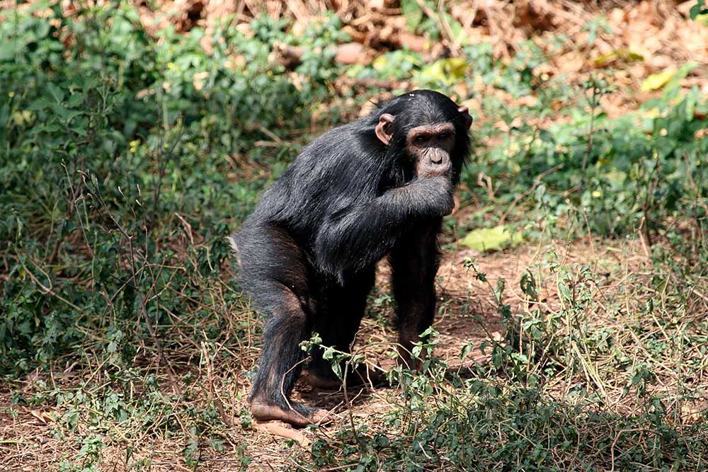 Chimpanzee, wildlife shot, Gombe National Park,Tanzania