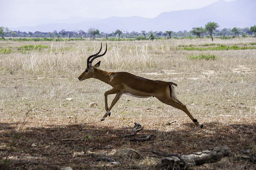 A jumping antelope in Mikumi National Park of Tanzania.