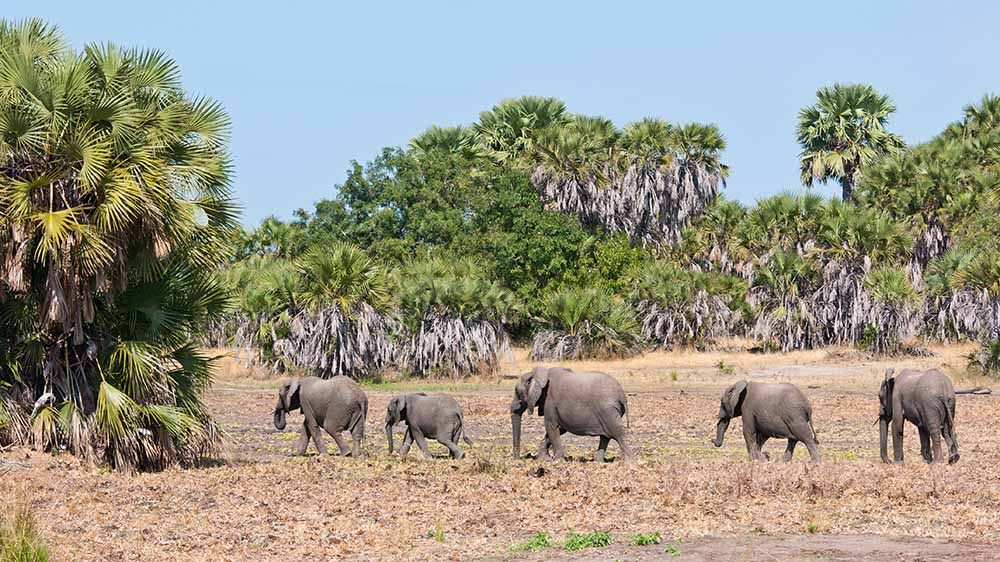 21438734 - family of elephants walking in the bushland of tanzania - national park selous game reserve